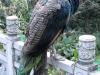 孔雀 Peacock