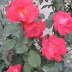 鲜花 Flowers